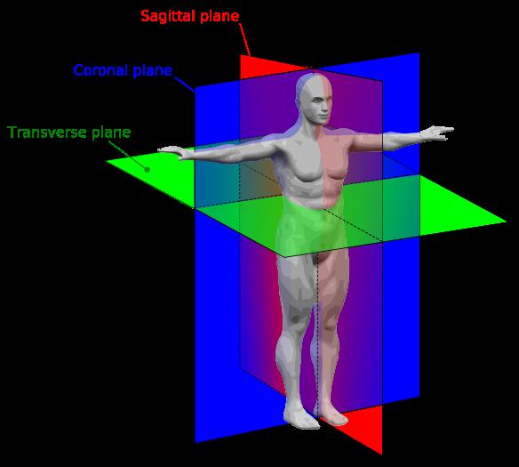 Human-anatomy-planes-frontal-coronal-sagittal-transverse